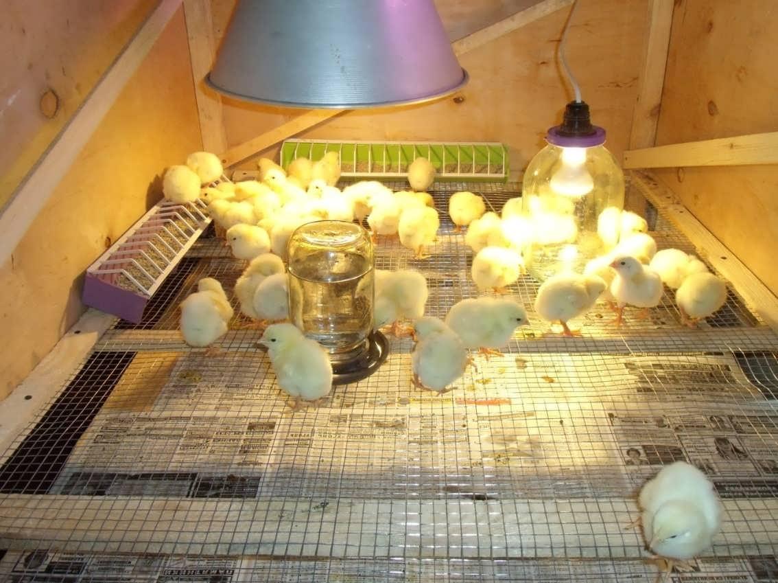 Цыплята в брудере